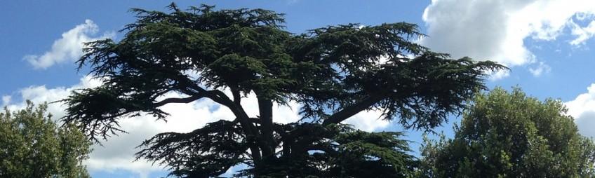 «Le juste grandira comme un cèdre du LIBAN»